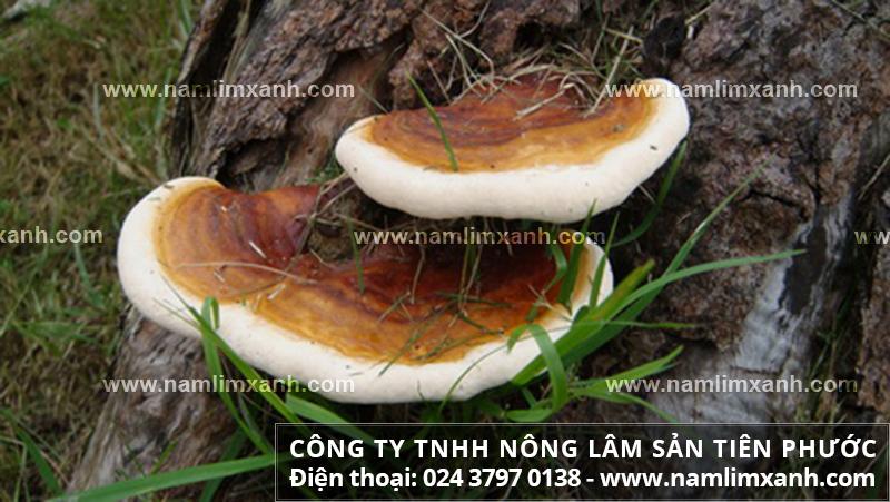 Bán nấm lim xanh tại Đà Nẵng và giá các loại nấm lim xanh tại Đà Nẵng