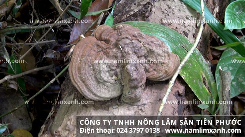 Nơi bán nấm lim xanh tại Đà Nẵng tốt nhất và mua nấm gỗ lim xanh