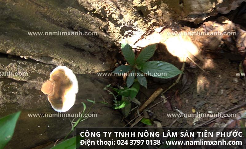 Nơi bán nấm lim xanh tại Nghệ An và mua nấm lim xanh ở đâu tốt nhất?