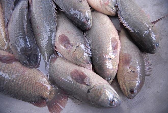 ăn cá rô đầu vuông bị ung thư
