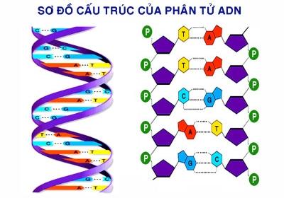 Ung thư là do lỗi sao chép ADN