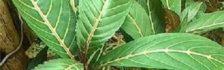 loại cây hỗ trợ điều trị đau dạ dày dai dẳng