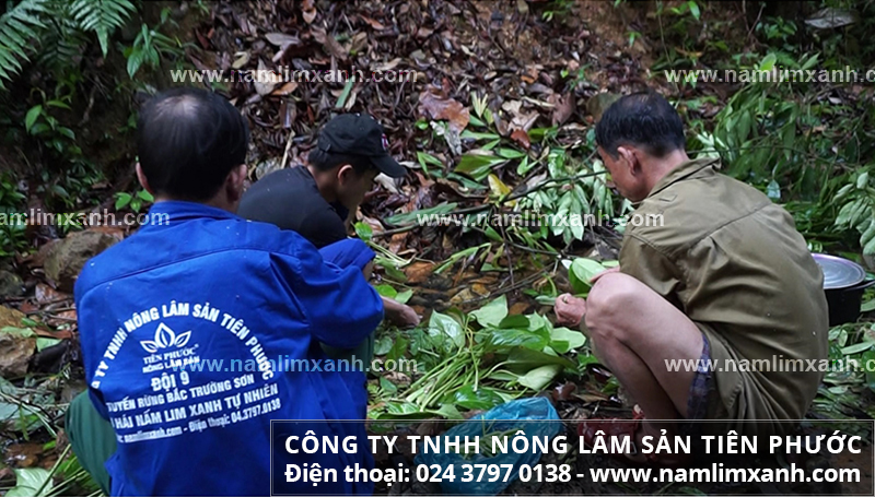 Lưu ý cách dùng nấm lim xanh chữa đau dạ dày và cách uống nấm lim rừng