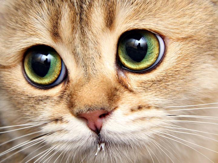 Phân mèo giết chết tế bào ung thư