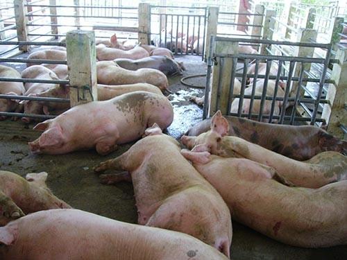 Thịt lợn có chất gây ung thư