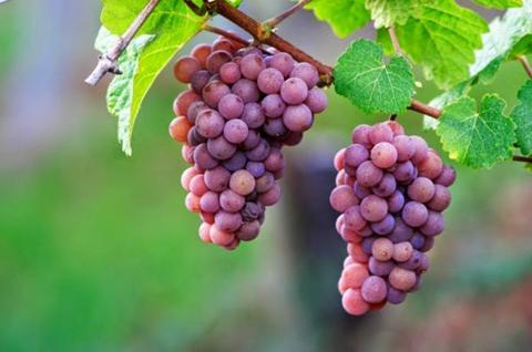 Nho đỏ và chiết xuất từ hạt nho là thực phẩm chống lại căn bệnh ung thư.
