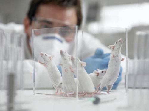 Thí nghiệm trên chuột giúp đưa ra phát hiện mới.