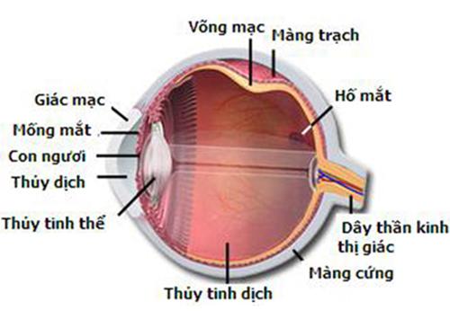 Bệnh ung thư mắt - Giải phẫu mắt