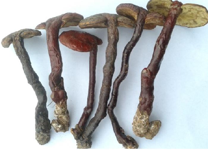 Phần chân cây nấm còn dính gỗ trên thân cây lim