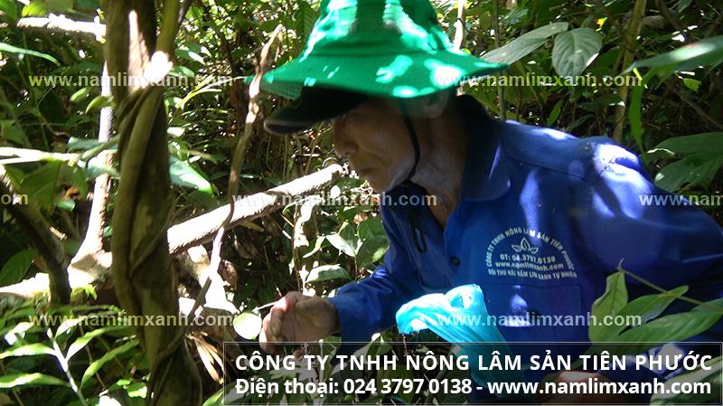 Cách sắc nước nấm lim xanh hiệu quả và cách nấu nấm lim rừng đúng
