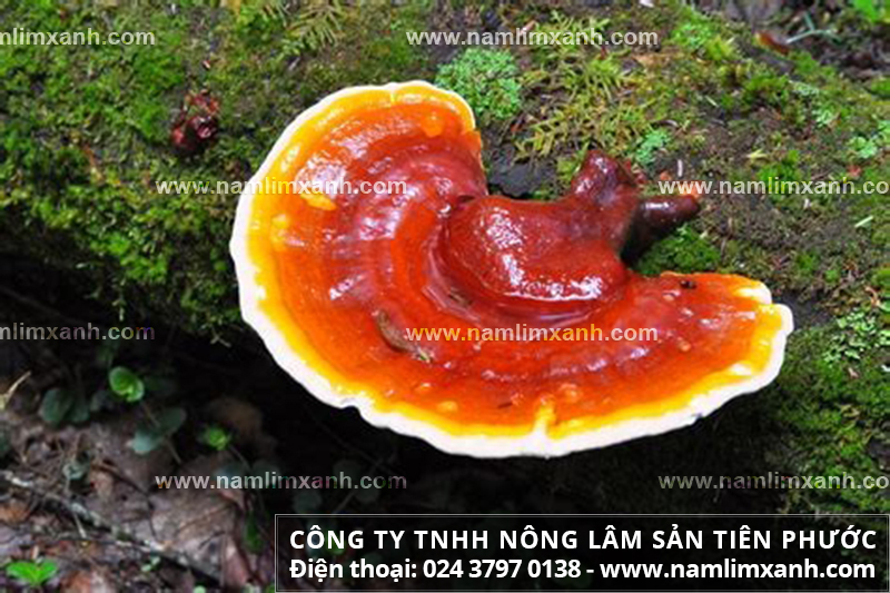 Địa chỉ bán nấm lim xanh tin cậy và nơi mua nấm lim xanh ở Hà Nội