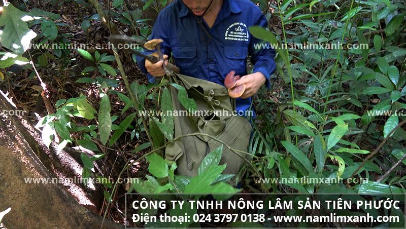 Giá nấm lim xanh trên thị trường tại Hà Nội và giá mua bán nấm lim rừng