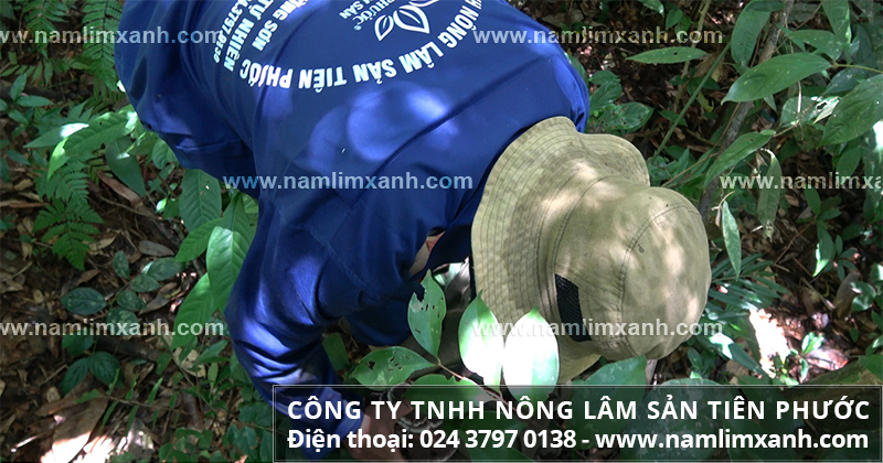 Giá trị của nấm lim xanh và giá trị tác dụng của nấm lim rừng tự nhiên