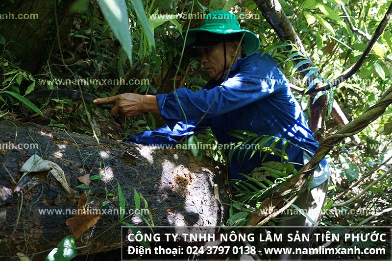Hành trình tìm nấm lim xanh và quá trình thu hái nấm lim rừng tự nhiên