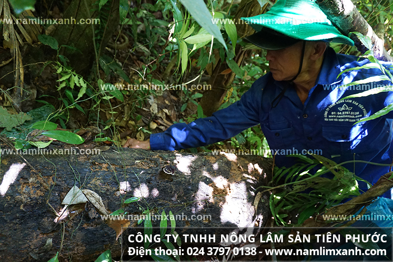 Mua nấm lim xanh Quảng Nam ở TPHCM và giá mua nấm lim Quảng Nam ở TPHCM