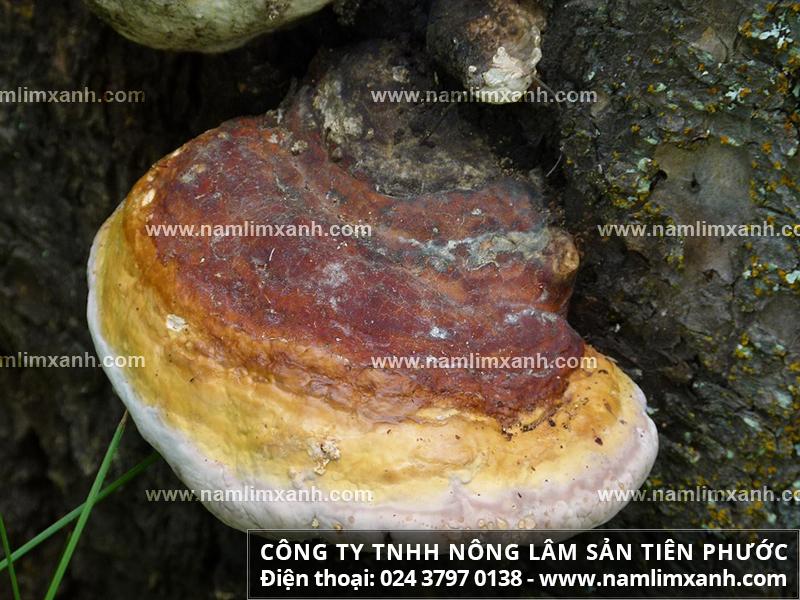 Nấm liên xanh và cách nhận biết cây nấm liên xanh rừng thật giả