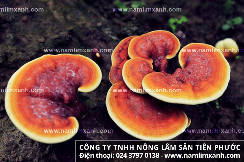 Nấm liên xanh và công dụng của nấm liên xanh trong chữa trị bệnh gout