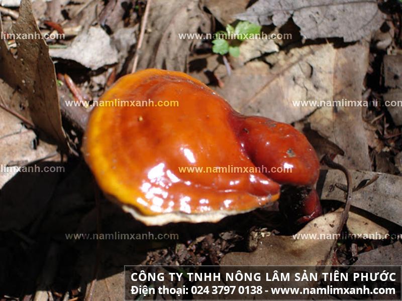 Nấm lim xanh chữa mất ngủ nấm lim xanh tự nhiên của Lào trị bệnh ra sao