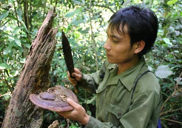 Nấm lim xanh của Lào trị chứng mất ngủhiệu quả