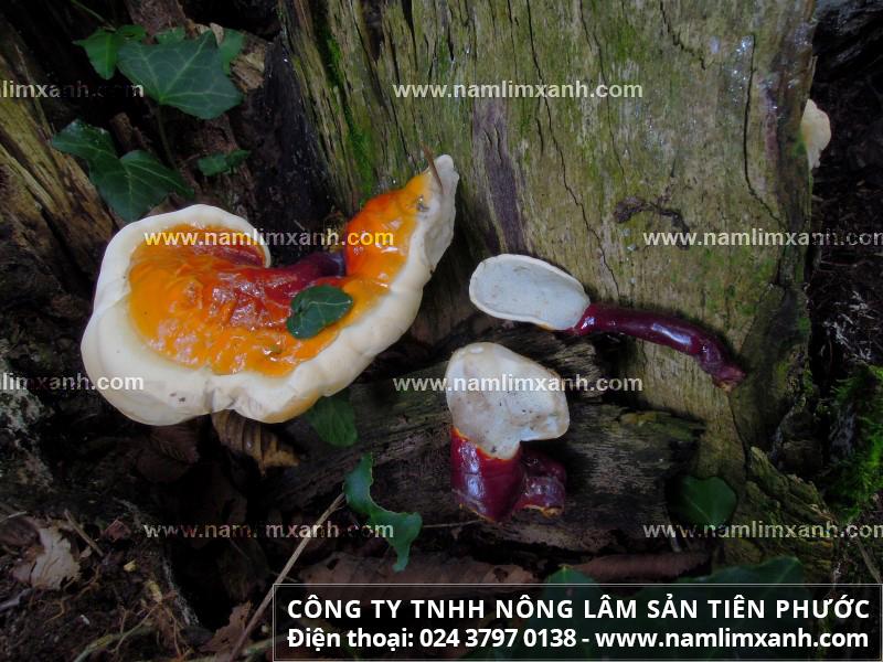 Nấm lim xanh thường mọc ở đâu trong tự nhiên và các loại nấm lim rừng