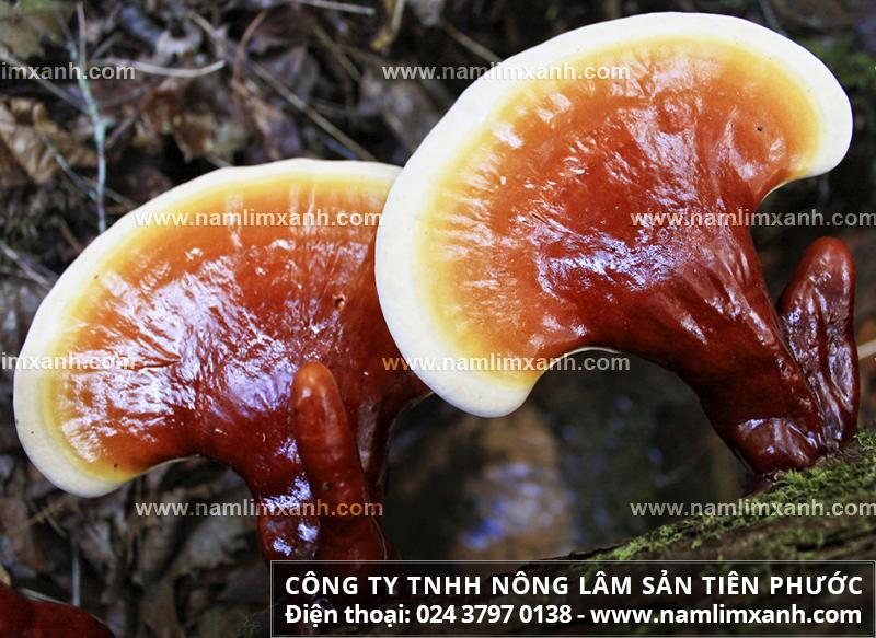 Nấm lim xanh tự nhiên của Lào trị bệnh ra sao và công dụng chữa ung thư