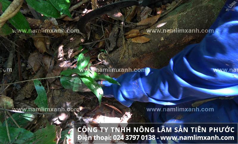 Phụ nữ có thai uống nấm lim xanh được không và bà bầu dùng nấm lim rừng