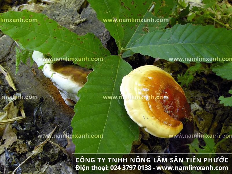 Sử dụng nấm lim xanh pha trà có tác dụng gì và hãm trà nấm lim rừng