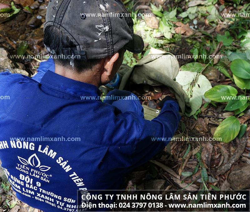 Tác hại của nấm lim xanh rừng giá rẻ và tác dụng phụ của nấm lim giá rẻ