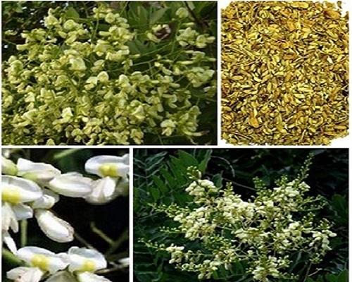 Hoa hòe có công dụng rất tốt trong điều trị bệnh trĩ