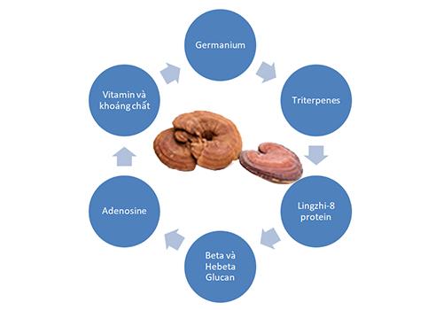 công dụng của nấm lim xanh gồm các dược chất