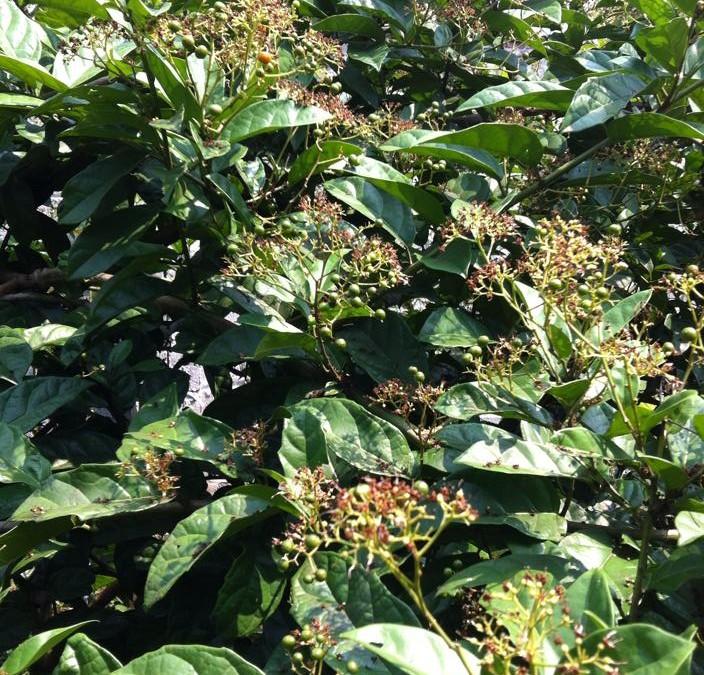 Cách trồng và chăm sóc cây xạ đen mang lại hiệu quả kinh tế cao