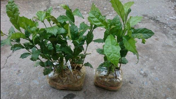 Xạ Hòa Bình có thể trồng theo 2 cách: Gieo hạt hoặc giâm cành.