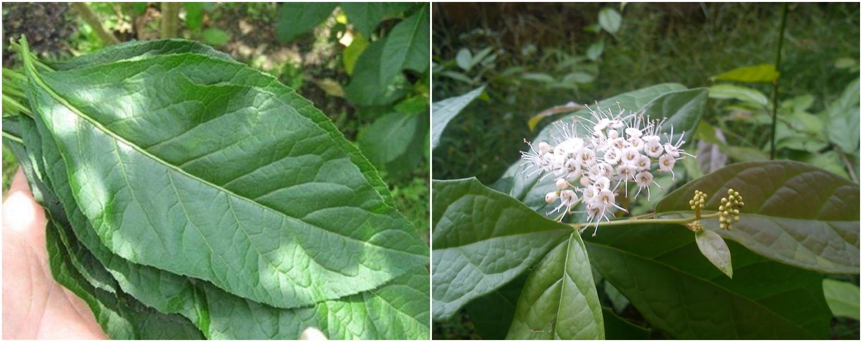 Lá và hoa cây sạ đen chữa ung thư