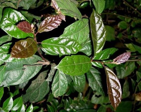 Công dụng của cây xạ đen chữa bệnh nan y hiệu quả nhờ các chất Flavonoid, Saponin Triterpenoid, Quinone.