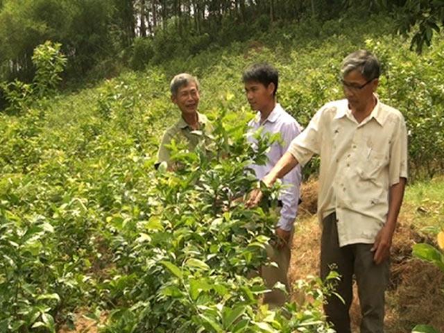 Cây xạ đen trồng ở Hòa Bình là nhiều