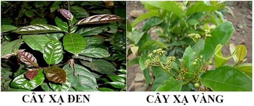 hình ảnh so sánh cây xạ đen và cây xạ vàng để phân biệt chính xác