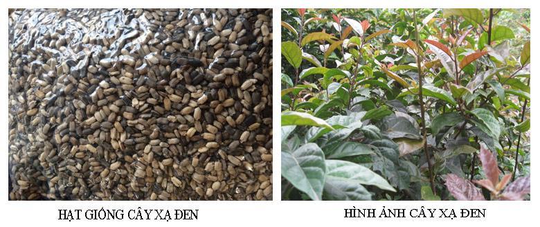 Hạt giống cây xạ đen thường có giá từ 20.000 đồng đến 30.000 đồng