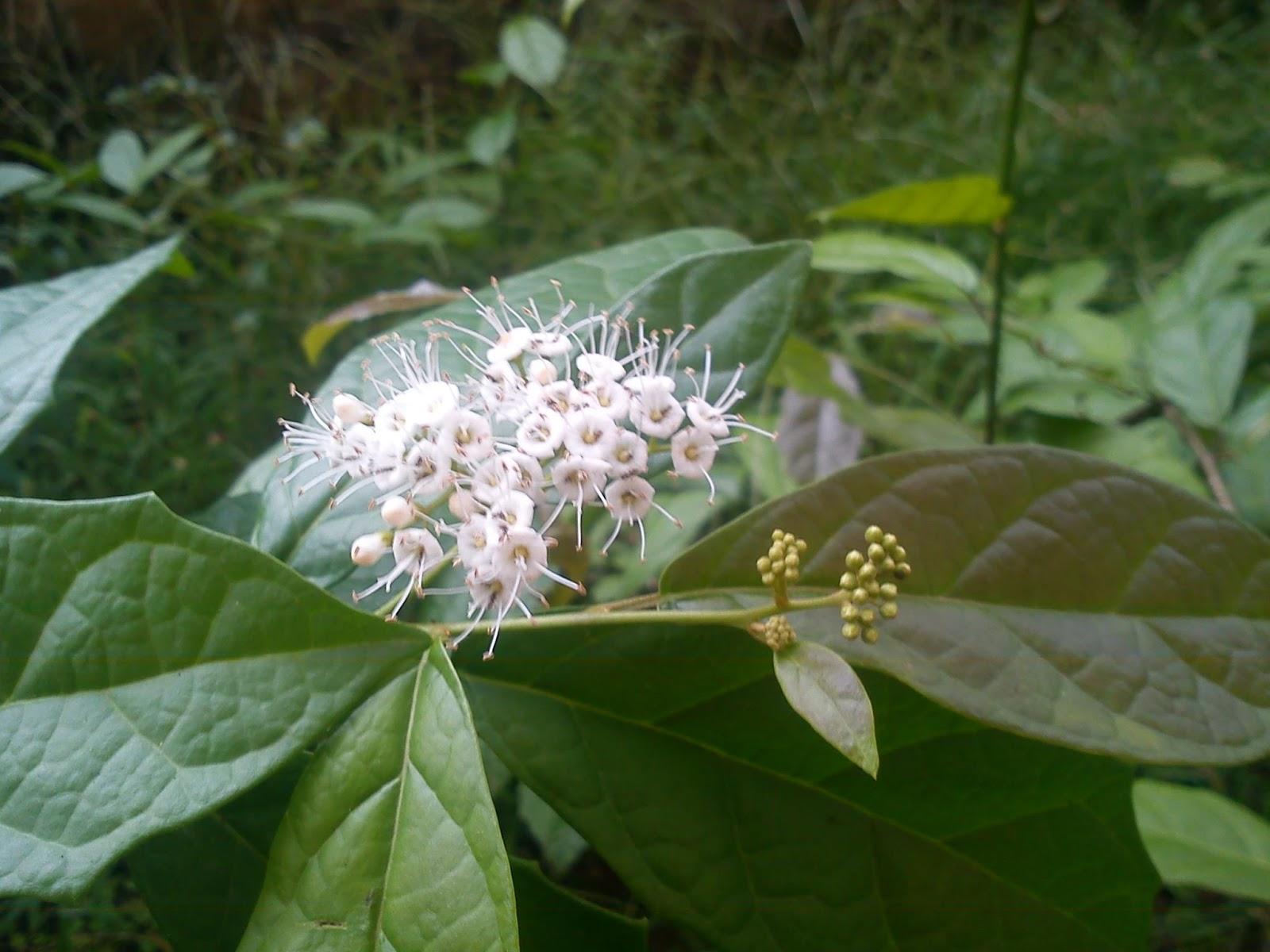 Hình ảnh cây thuốc xạ đen trong tự nhiên có hoa màu trắng.