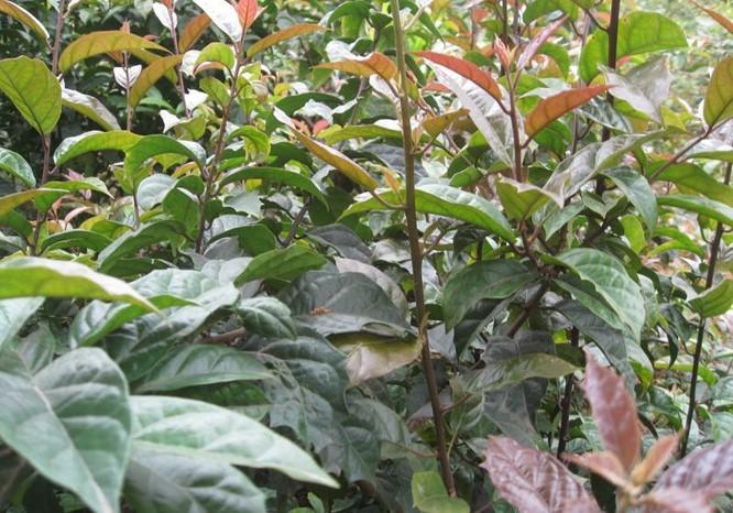 Mô hình trồng cây xạ đen ở Hòa Bình