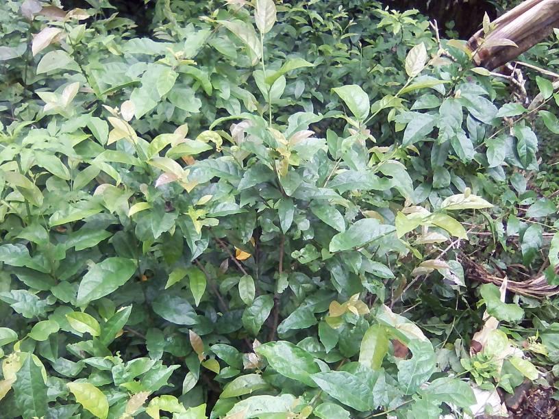 Xạ đen được đánh giá là cây bách bệnh