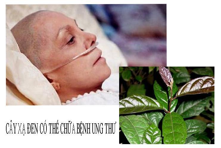 Tác dụng cây xạ đen chữa bệnh ung thư hiệu quả