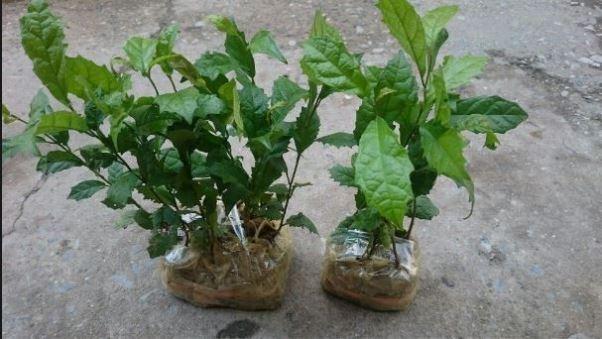 Cách trồng nhân giống xạ đen khá đơn giản, không cầu kì