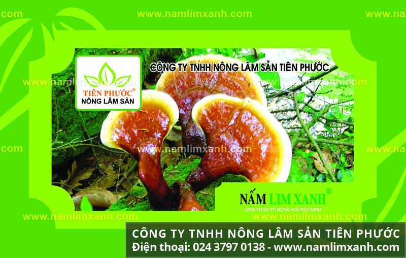 Bán nấm lim xanh tại Hà Nội bao nhiêu 1kg và cách chọn mua nấm lim