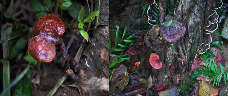 Bí mật về giá nấm lim xanh rừng tự nhiên.