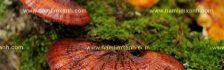 Cách nhận biết nấm lim xanh thật giả và tác hại của nấm lim xanh trồng