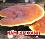 Cây nấm lim xanh Quảng Nam