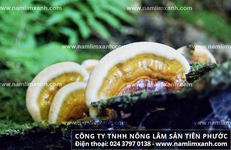 Cây nấm lim xanh chữa bệnh ung thư nhờ dược chất nấm lim rừng trị ung thư