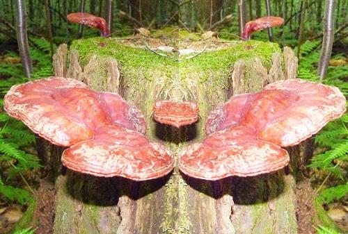 Cây nấm lim xanh rừng Quảng Nam được người thợ sơn tràng tìm thấy trong rừng.