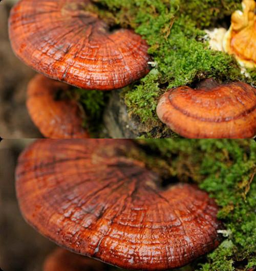 Chế biến nấm lim xanh tươi cần loại bỏ độc tố có trên cây nấm trước tiên.