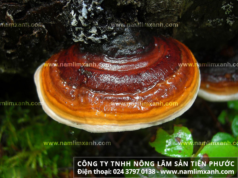 Công dụng nấm lim xanh chữa ung thư vòm họng và cách uống nấm lim rừng